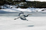 Heron Over an Icy Pond, Roger Aldridge, Olney, Maryland